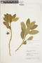 Centropogon azuayensis image