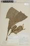 Centropogon capitatus image