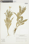 Hippobroma longiflora image