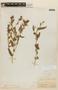Mentzelia albescens image