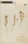 Mentzelia bartonioides image
