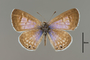 124079 Leptotes marina d IN