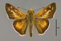 124088 Hesperia leonardus male d IN