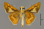 124088 Hesperia leonardus male v IN