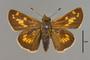124089 Hesperia leonardus female d IN