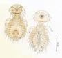 28622 Goniodes sinensis PT d IN