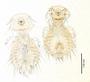 28622 Goniodes sinensis PT v IN