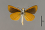 124123 Ancyloxypha numitor v IN