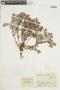 Triolena pileoides (Triana) Wurdack, COLOMBIA, F