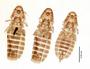 28546 Heptapsogaster boraquirae PT v IN