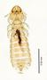 28975 Brueelia cicchinoi PT d IN