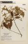 Couepia guianensis image