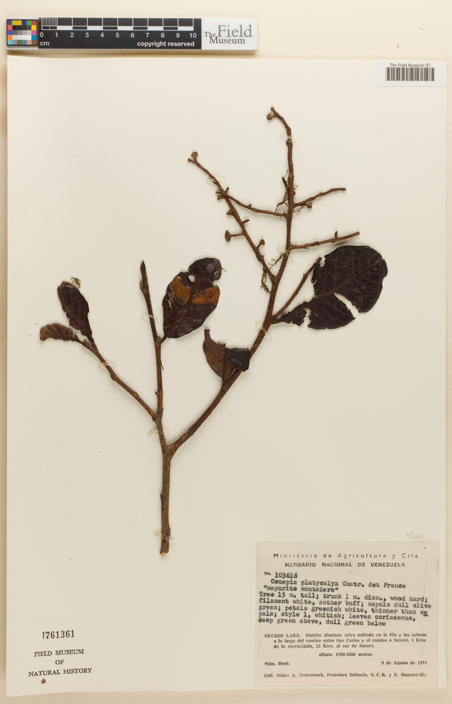Couepia platycalyx image