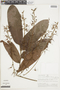 Hirtella guainiae Spruce ex Hook. f., PERU, F