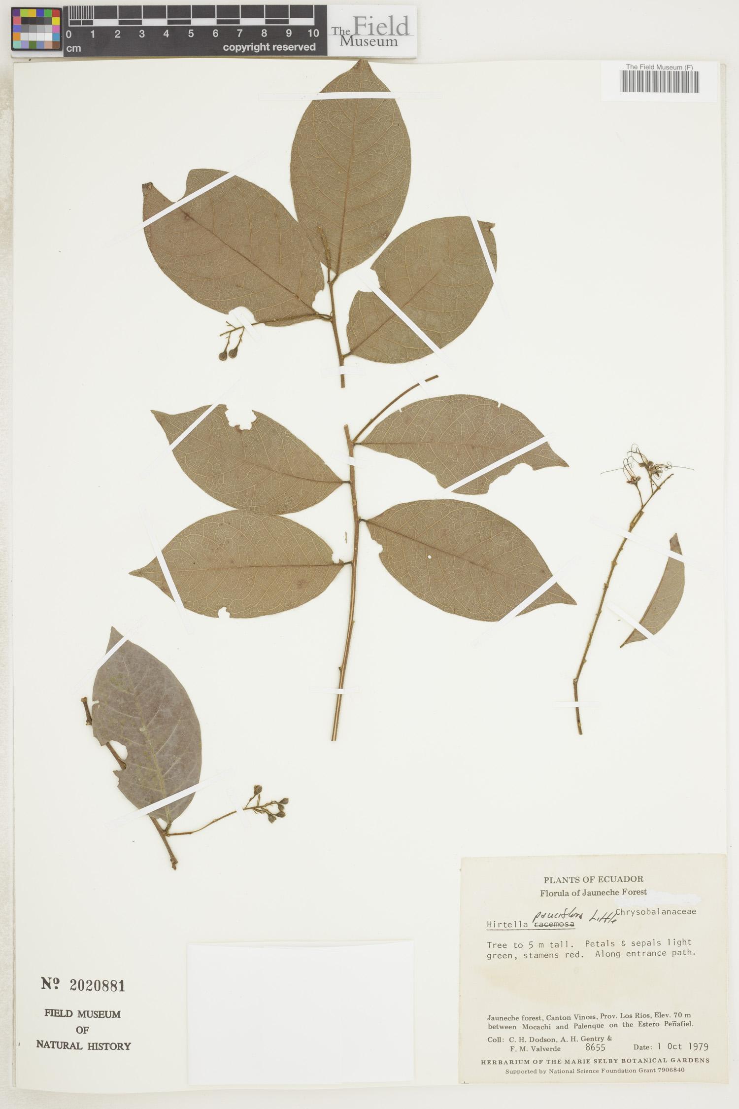 Hirtella pauciflora image