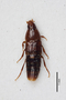 2818965 Mycetoporus zeithammeri LT d IN