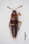 2818966 Mycetoporus pustulatus ST d IN