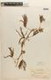 Mimosa polydactyla image