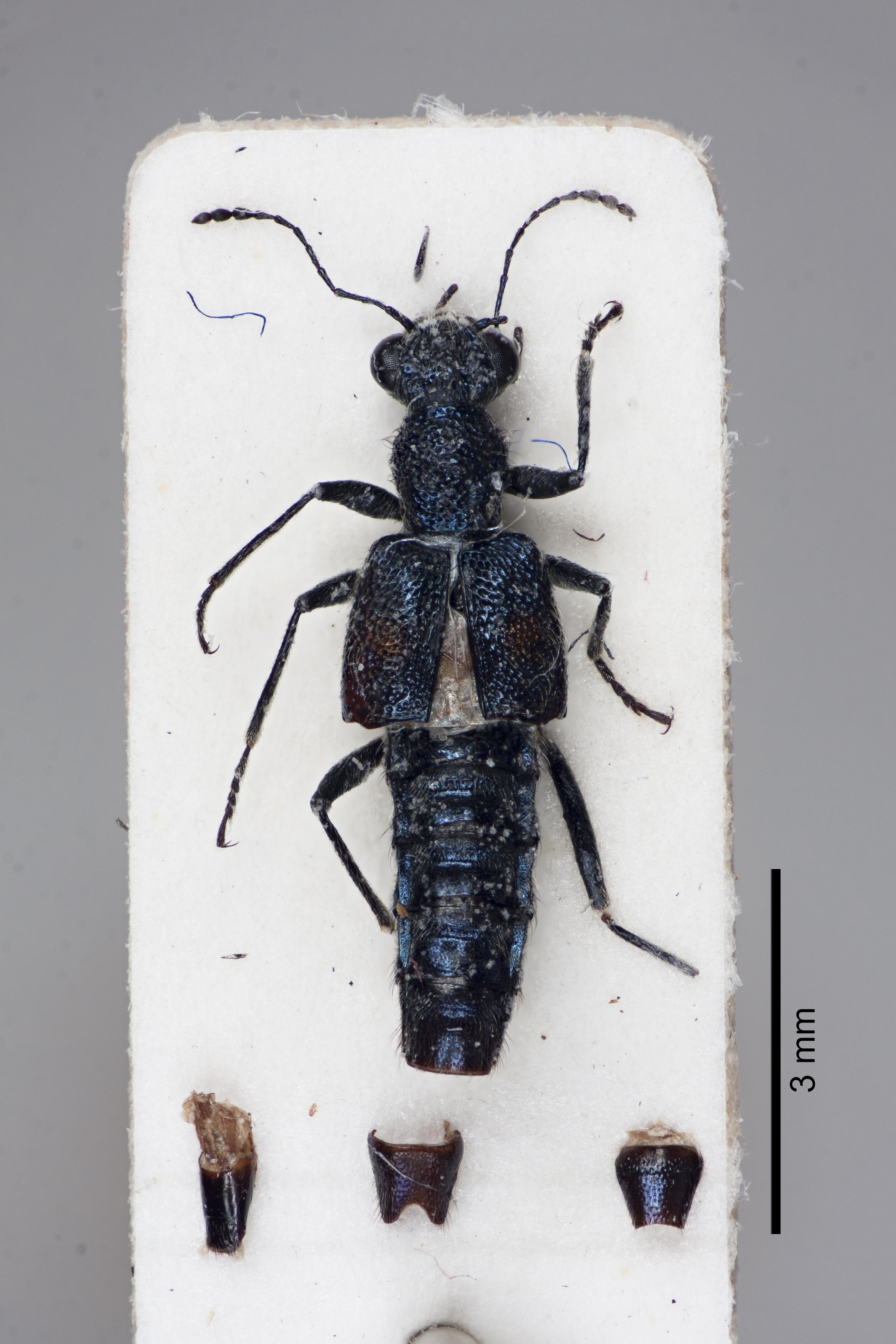 Image of Dianous cyaneocupreus