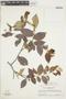 Licania leptostachya Benth., SURINAME, F