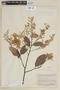 Licania rufescens Klotzsch ex Fritsch, SURINAME, F