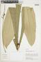 Leptothyrsa sprucei Benth. & Hook., PERU, F