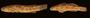 42666 Bathygobius ramosus curticeps