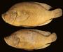 99712 Serranochromis altus