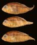 55219 Aequidens mariae