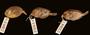 23062 23064 Acanthurus triostegus marquesensis
