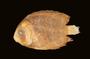 52831 Holocanthus lunatus