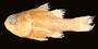108687 Apogon marquesensis