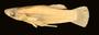 94188 Gambusia xanthosoma