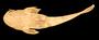 68008 Acrochordonichthys falcifer