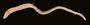 62587 Rabula marshallensis