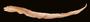 17193 Gymnothorax efatensis