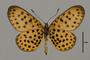 124134 Pardopsis punctatissima v IN