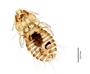 29890 Palmaellus inexpectatus PT d IN