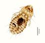 29890 Palmaellus inexpectatus PT v IN