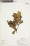 Gaiadendron punctatum (Ruíz & Pav.) G. Don, ECUADOR, F