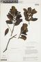 Gaiadendron punctatum (Ruíz & Pav.) G. Don, VENEZUELA, F