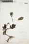 Gaiadendron punctatum (Ruíz & Pav.) G. Don, BOLIVIA, F