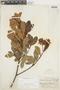 Gaiadendron punctatum (Ruíz & Pav.) G. Don, PERU, F