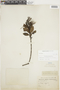 Gaiadendron punctatum (Ruíz & Pav.) G. Don, F