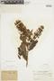 Gaiadendron punctatum (Ruíz & Pav.) G. Don, COLOMBIA, F