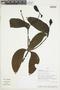 Phoradendron berteroanum image
