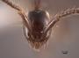 45003 Aenictus gracilis H IN
