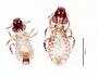 28663 Strigiphilus macrogenitalis PT v IN