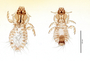 28664 Strigiphilus macrogenitalis PT d IN