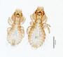 28666 Strigiphilus acadicus PT v IN